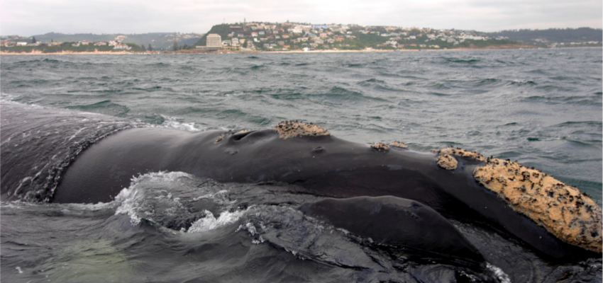 Plettenberg Bay Whale Watching